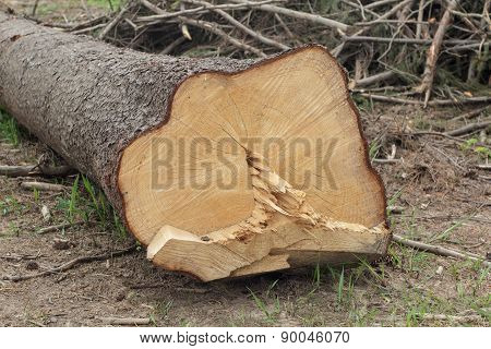 End Cut Of A Tree