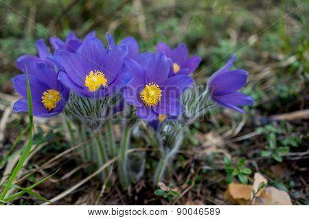 First Blue Crocus Flowers, Spring Saffron