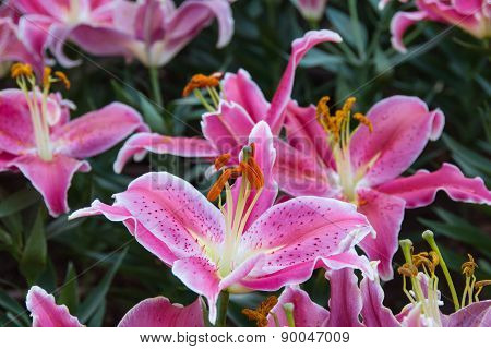 Pink zephyranthes lily flower