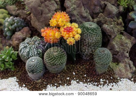 the beautiful actus in pot