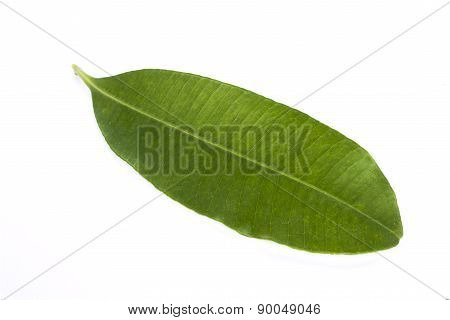 Devil's Leaf On White Background, Clipping Path