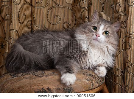 Fluffy Gray And White Cat Lies On Stool