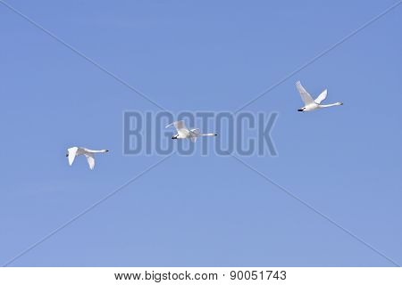 Whooper swan in the blue sky.