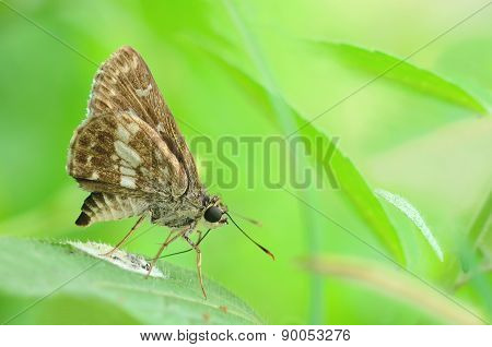 Butterfly (moore's Ace) In A Side View As A Flying Migratory I