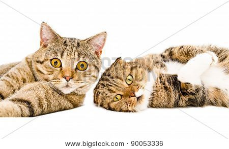 Portrait of two cats Scottish Straight and Scottish Fold lying together