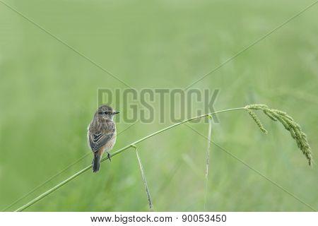 Bird (Pied bushchat) perching on beautiful grass.