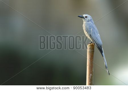 Beautiful Bird (ashy Drongo) Perching On Timber