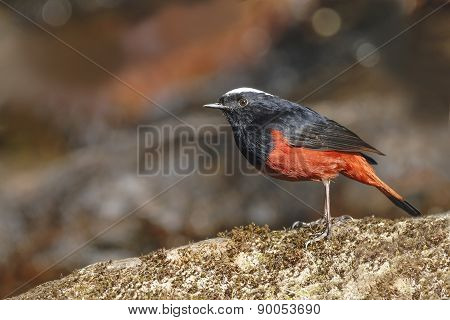White-capped Water-redstart Or River Chat, The Black And Red Bir