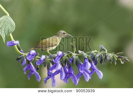 Beautiful Bird (black-throated Sunbird) Perching On Flower