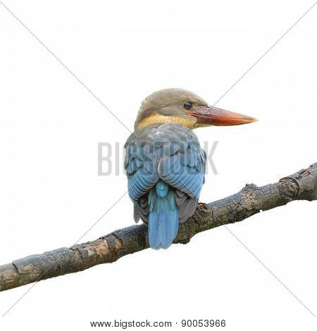 (stork-billed Kingfisher) Beautiful Bird Perching On Branch