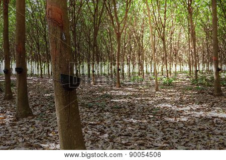 Rubber Tree Latex Agriculture In Tropical Forest And Bowl