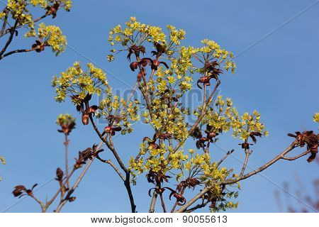 Tree buds about to bloom in early spring with bright blue sky