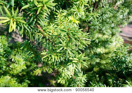 The evergreen plant