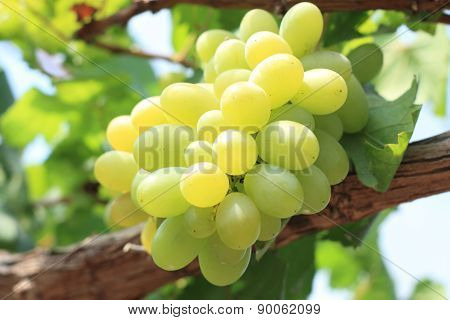 Green grapes on vine sunset time