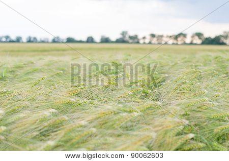 Green Barley Field With Sky