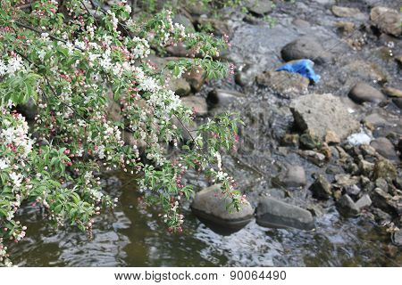 White Crab Apple or Dogwood Tree in spring starting to bloom with brook in background