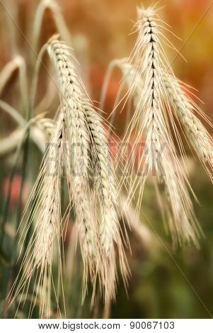 Barley Ears Closeup