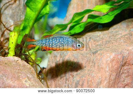 Galaxy Fish