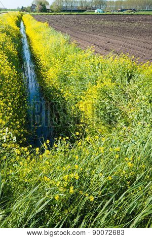 Yellow Flowering Rapeseed On The Banks Of A Small Stream