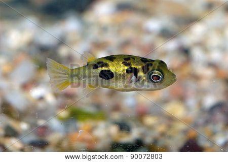 Tetraodon Fish