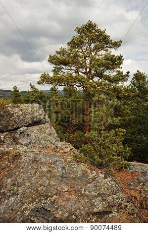 Pine Tree On Rock