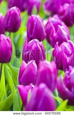 Purple Tulips In The Spring.