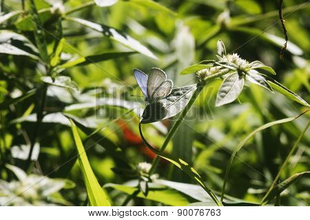 Tiny Bluish Butterfly