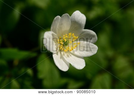 May Flower Anemone White With Bright Yellow Stamens