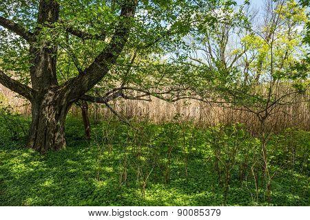 Spring Shade Tree