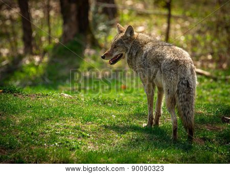 Common North American Coyote From Back