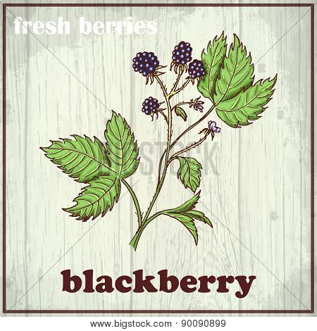 Hand Drawing Illustration Of Blackberry. Fresh Berries Sketch Background