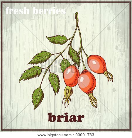 Hand Drawing Illustration Of Briar. Fresh Berries Sketch Background