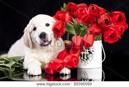 golden retriver puppy and spring flowers
