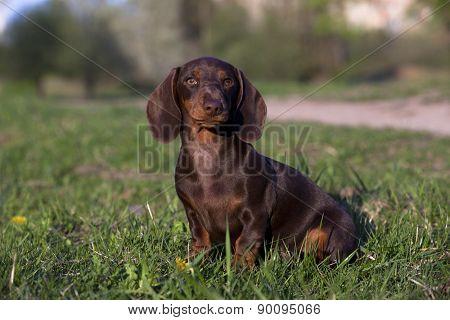 dachshund chocolate puppy