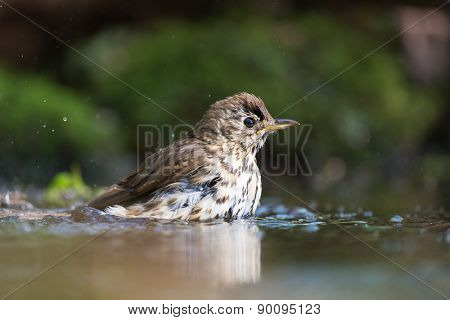 Mistle Thrush bathing with splashes in nature water