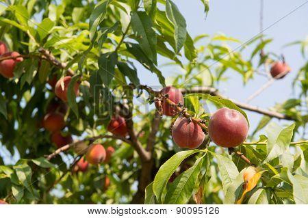Ripe Nectarines hanging in tree