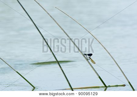 Two dragonflies on reed in river