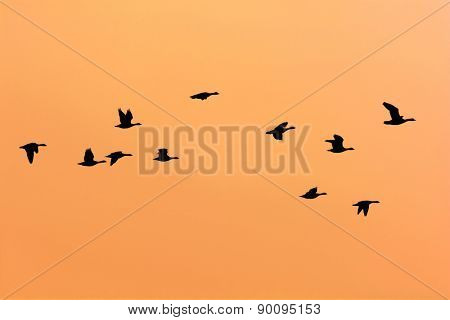 Group flying geese with sunset