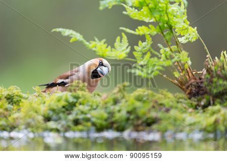 Hawfinch at the ground near water lake