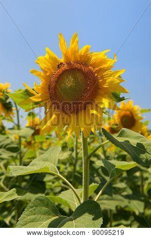 Field sunflowers in France