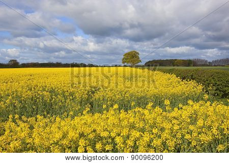 Oak Tree And Oilseed Rape Crop