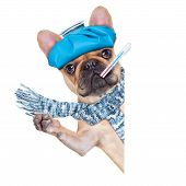 stock photo of high fever  - french bulldog dog with headache and hangover with ice bag on headthermometer in mouth with high fever eyes closed suffering behind a blank banner or placard isolated on white background - JPG