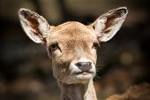 foto of deer head  - Close up shot of the head and face of a very cute young deer fawn - JPG