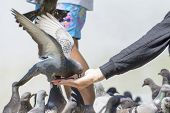 pic of pigeon  - Pigeons and doves exhibit considerable variations in size - JPG