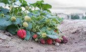 stock photo of strawberry plant  - Closeup of Strawberry plant in a row - JPG