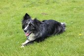 picture of border collie  - Border collies never rest for very long - JPG