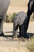 stock photo of calves  - Elephant calf drinking water on a dry and hot day - JPG