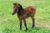 picture of pony  - yoeng pony(a kind of small horse) in a green filed in Jeju Island korea. ** Note: Soft Focus at 100%, best at smaller sizes - JPG