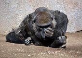 pic of herbivores  - Gorilla constitute the eponymous genus Gorilla - JPG
