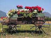 pic of petunia  - Colorful of petunia flowers on trolley or cart wooden in garden - JPG